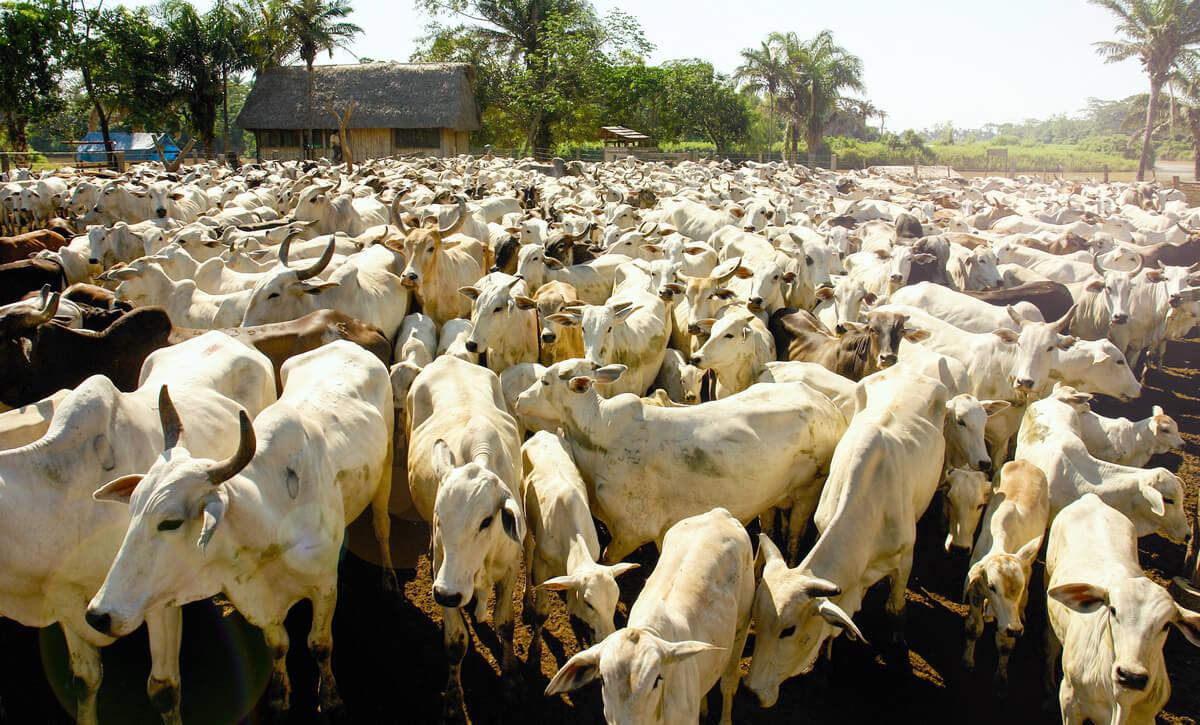 fazenda pecuária com grande quantidade de gado e bons resultados da fazenda