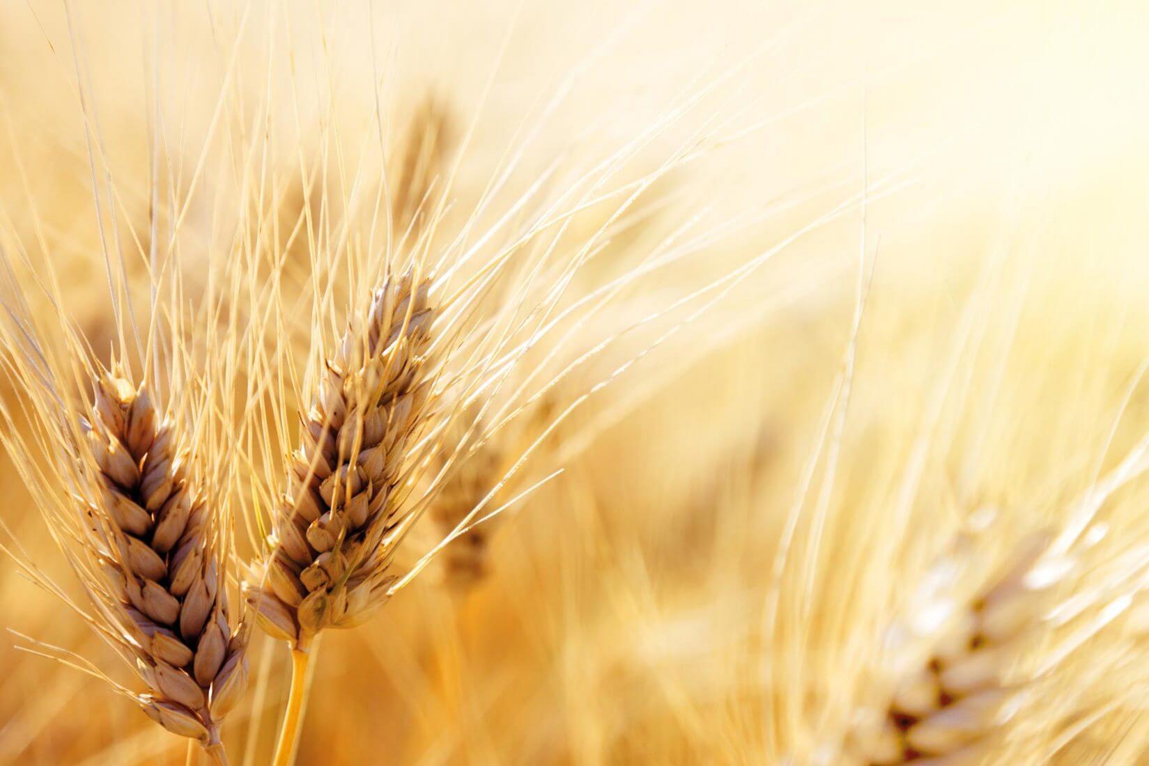 trigo biofortificado