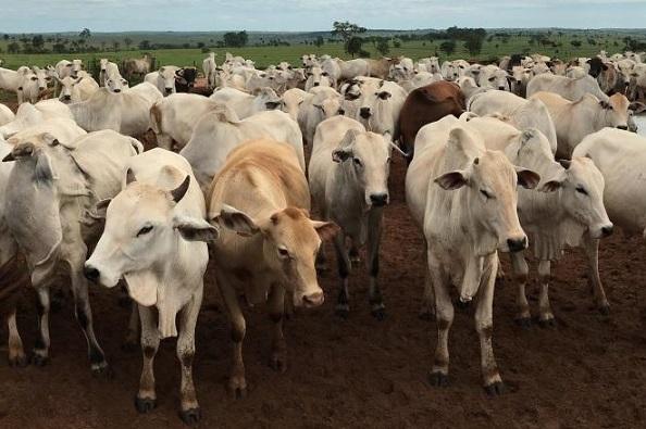abates de bovinos
