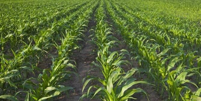 área plantada de milho