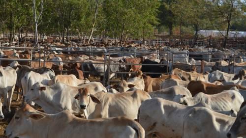 transporte marítimo de bovinos