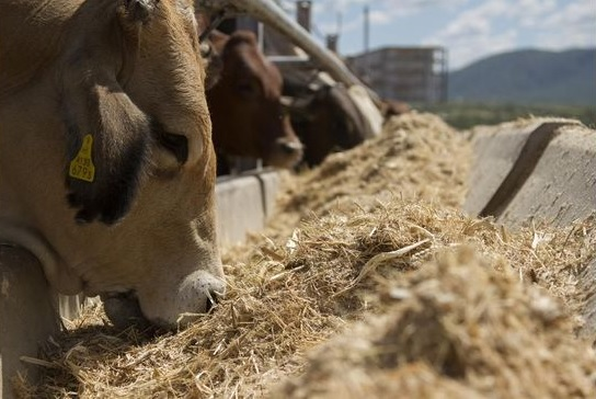 bovinos confinados