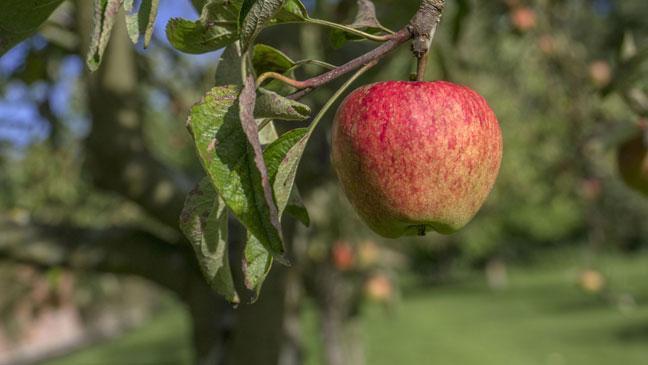 produção de maçã
