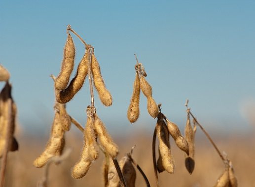 importância da soja