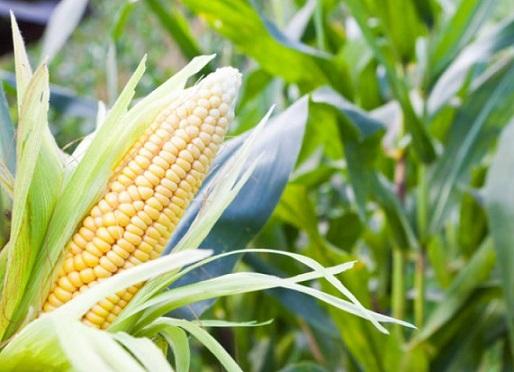 mercado do milho