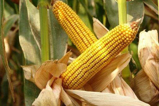estoque de milho no Brasil