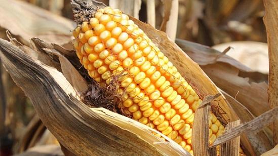 melhores meses para vender milho