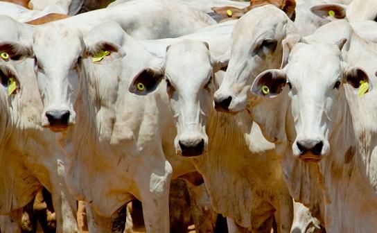 bovinos vivos