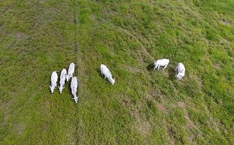 contagem do gado