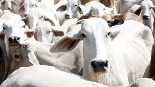 exportação de bovinos vivos