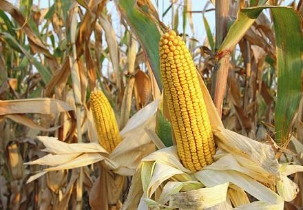 exportação de milho brasileiro