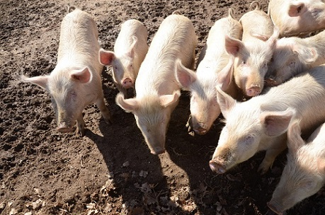 produção de suínos no Brasil