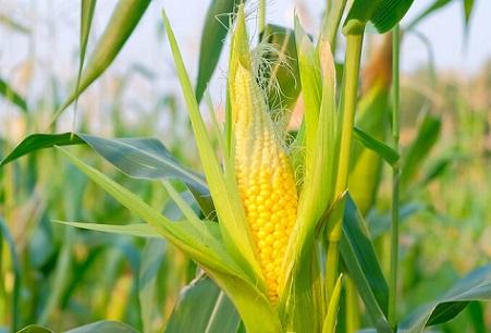 produção de milho no Brasil