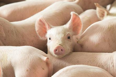 produção de suínos
