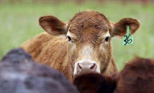 uso de antibióticos em bovinos