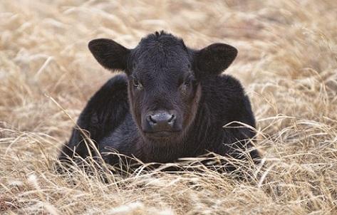taxa de prenhez em vacas angus