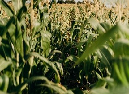 principais produtores mundiais de milho