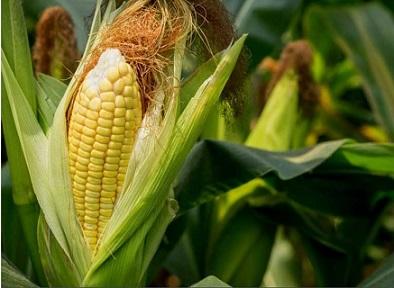 rentabilidade do milho