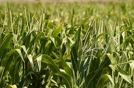 produção mundial de milho