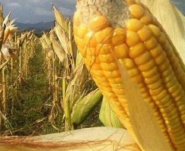 variação dos preços do milho