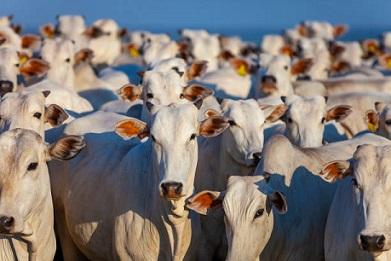 taxa de abate de vacas