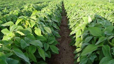 relação de preço do fertilizante e da soja